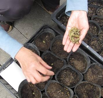 種(ムカゴ)蒔き