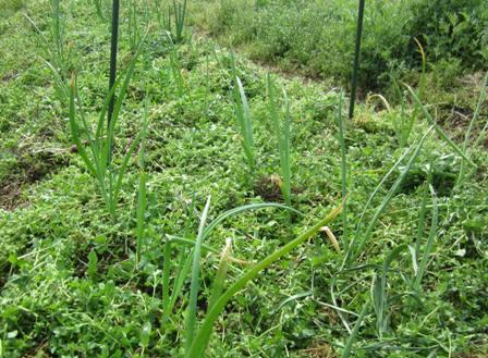 玉ネギ (1)