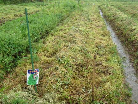 自然農の枝豆 (1)