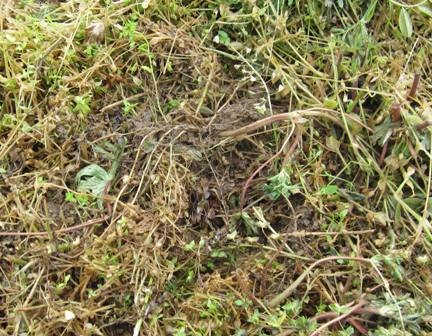 自然農の枝豆 (3)