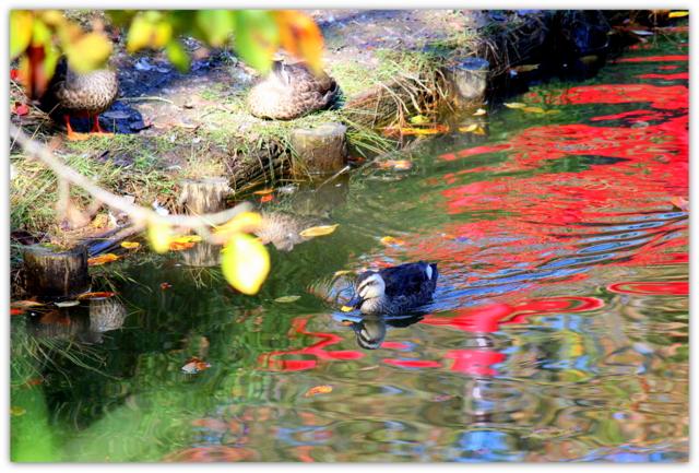 弘前公園 青森県 弘前市 野鳥 鳥 とり トリ 水鳥 カルガモ まるがも 写真