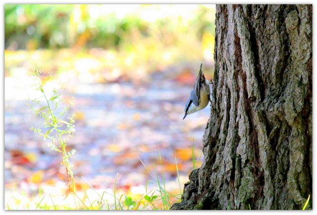 ハクセキレイ 青森県 弘前市 弘前公園 野鳥 鳥 とり トリ 写真