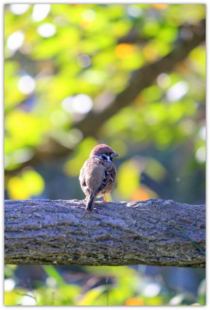 弘前公園 弘前市 青森県 すずめ スズメ 雀 野鳥 トリ とり 写真