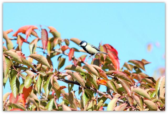 シジュウカラ 青森県 弘前市 弘前公園 野鳥 とり 鳥 トリ 写真