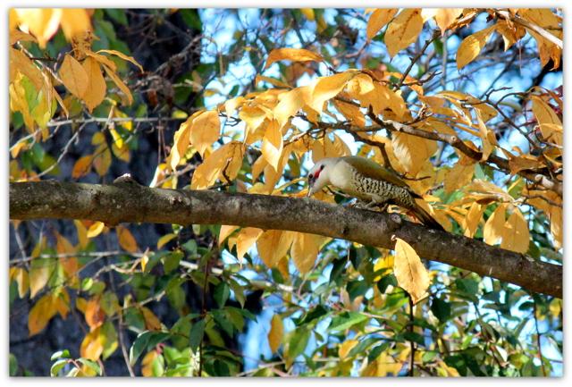 アオゲラ 青森県 弘前市 弘前公園 野鳥 鳥 とり トリ 写真