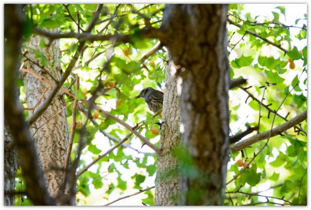 弘前公園 青森県 弘前市 野鳥 鳥 とり トリ ヒヨドリ 写真