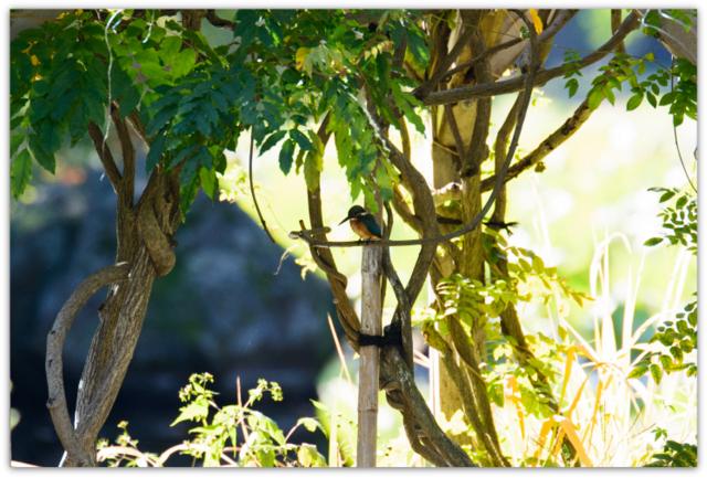 カワセミ 弘前公園 青森県 弘前市 野鳥 鳥 とり トリ 写真