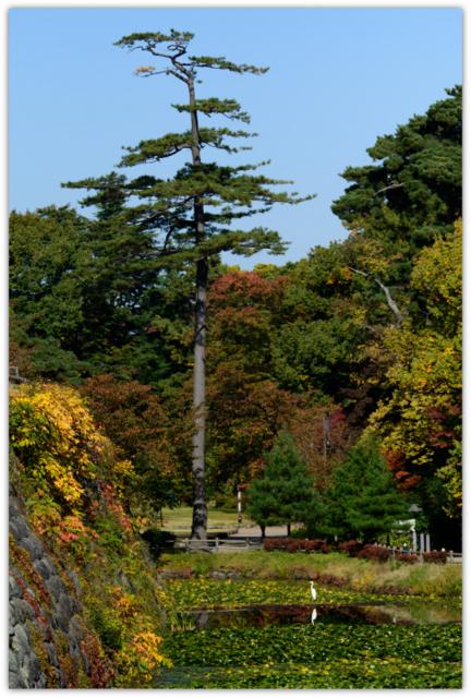 弘前公園 青森県 弘前市 鳥 野鳥 とり トリ 鷺 さぎ サギ 白鷺 ダイサギ シラサギ 写真