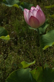 静かに。咲く。