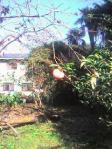 柿一つ101106_1021~0001