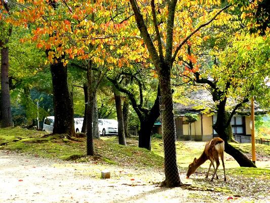 奈良公園‐鹿その1