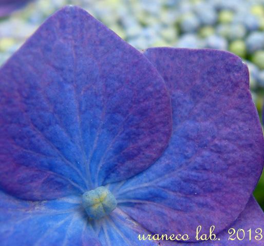 6月6日紫陽花色の夢