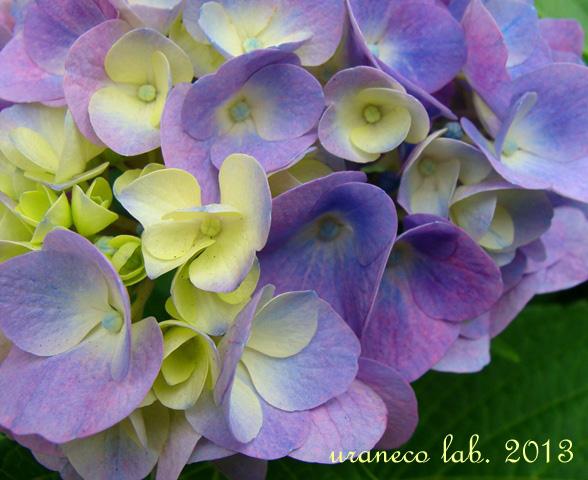6月6日紫陽花色の夢2