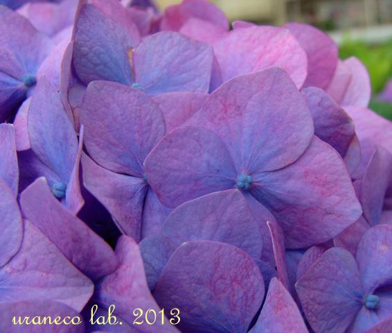 6月6日紫陽花色の夢3