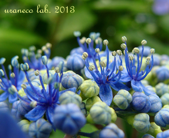 6月6日紫陽花色の夢5
