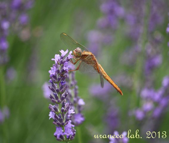 6月26日ラベンダーと蜻蛉