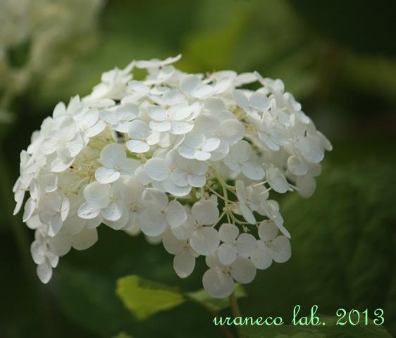 7月2日白い紫陽花3