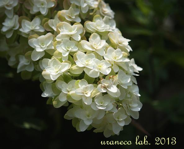 6月26日柏葉紫陽花3