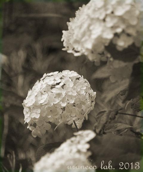 7月2日白い紫陽花2セピア
