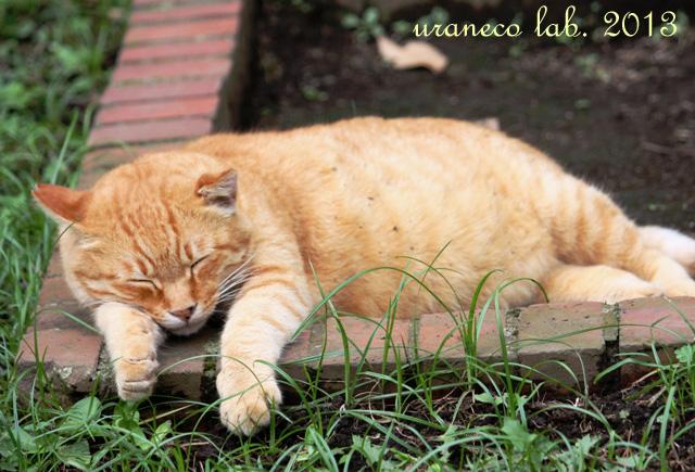 8月1日日比谷公園の茶虎猫3