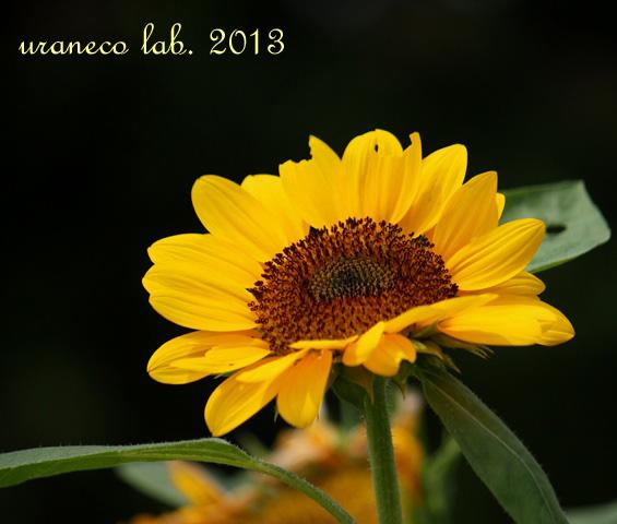 7月19日向日葵のある風景7