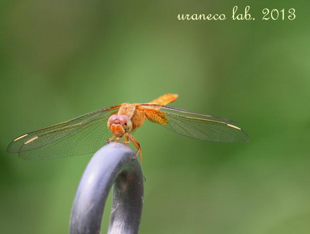 7月17日蜻蛉2