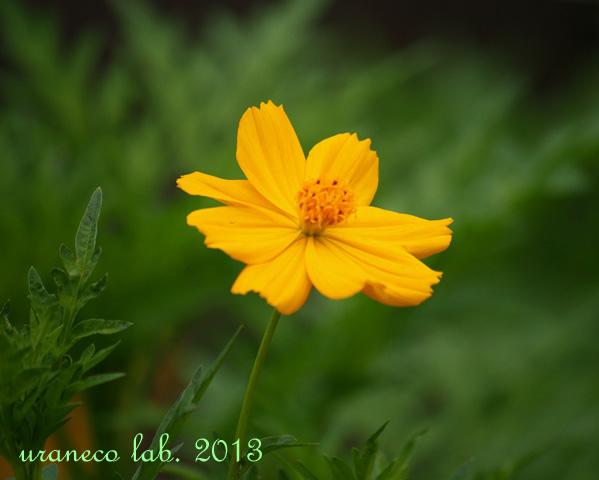 7月19日黄色いコスモス