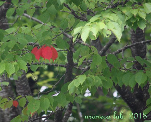 8月12日紅色の葉っぱ