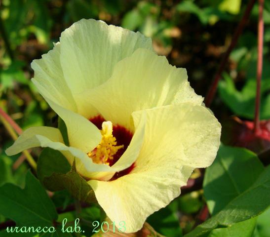 9月3日cotton flower
