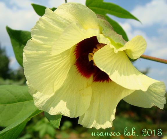9月3日cotton flower2