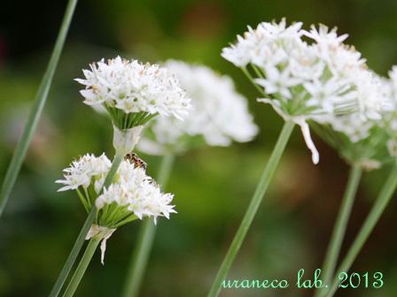 9月9日ニラの花