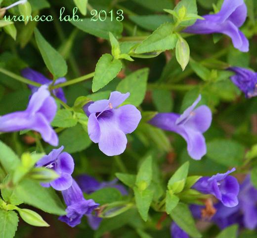 9月13日魅惑の紫