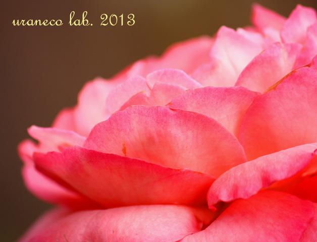 10月4日薔薇ピンク