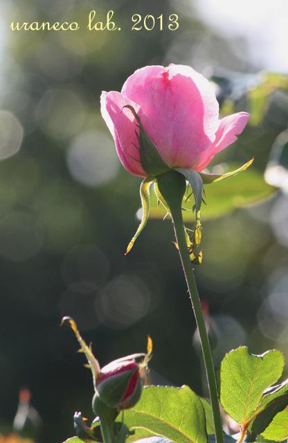10月11日秋の薔薇3