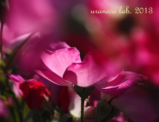 10月11日秋の薔薇4