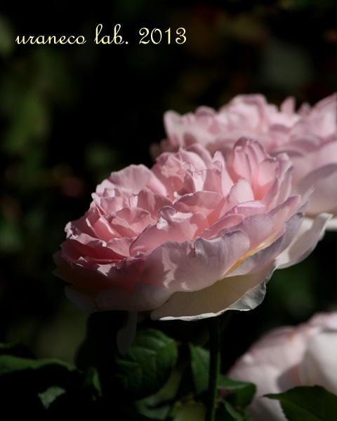 10月11日秋の薔薇5