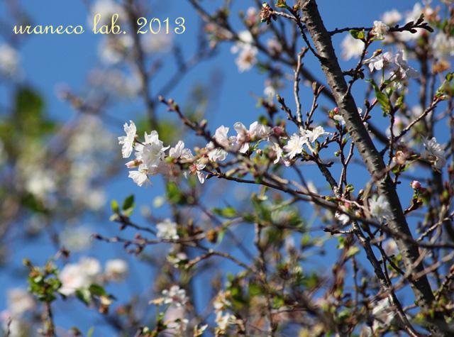 10月16日十月の桜