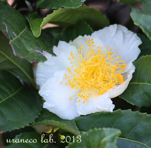 10月18日お茶の花