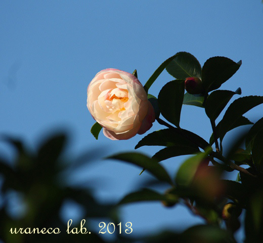 10月18日山茶花