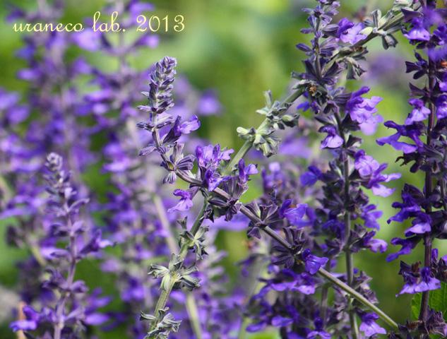 10月23日紫色のハーブ2
