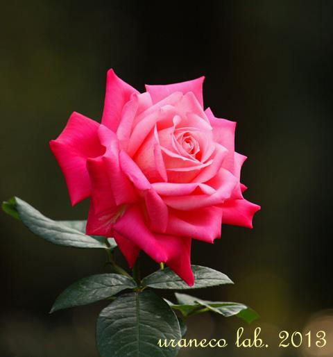 10月30日秋薔薇のある情景5