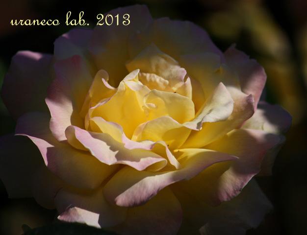 10月30日秋薔薇ピース
