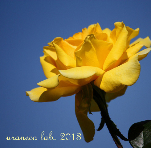 10月30日秋薔薇ジーナ