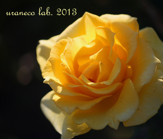 10月30日秋薔薇ゴールデンバニー