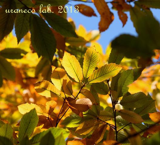 11月11日黄金色に染まる5