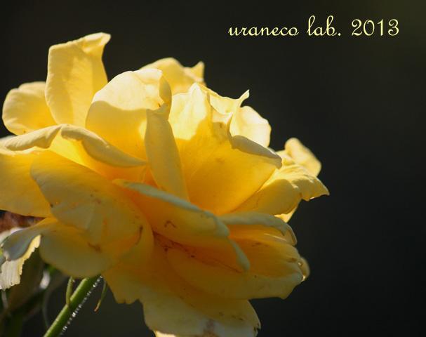 10月30日秋薔薇ゴールデンバニー2