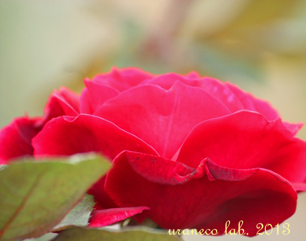 11月14日Autumn Rose3