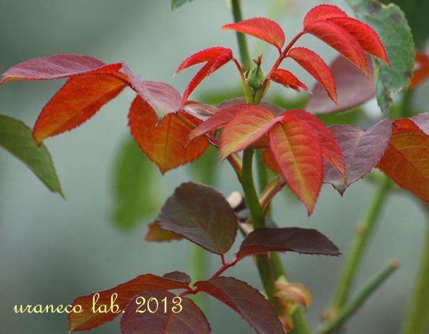 11月14日薔薇葉