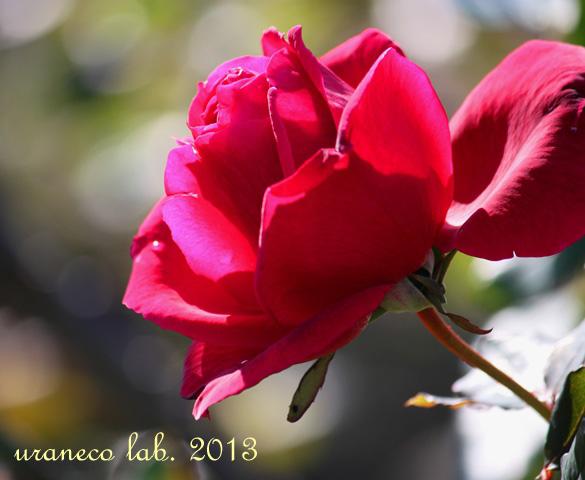 11月19日冬紅薔薇