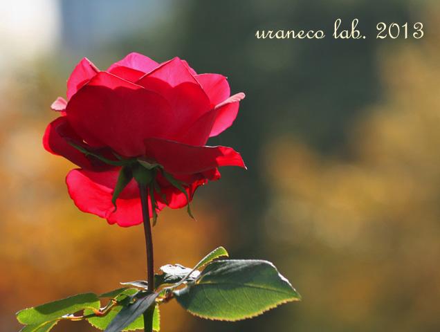 11月25日紅薔薇4